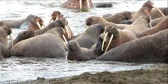 This Sept. 7, 2010 picture provided by the U.S. Geological Survey shows a walrus calf looking out from the group at the beach line near Point Lay, Alaska.