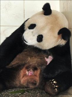 In this photo taken Friday, Sept. 17, 2010, panda Hua Mei hugs her newly-born panda baby at the Bifengxia base of the Wolong China Panda Protection and Research Center in Ya'an, in southwest China's Sichuan province. The American-born panda gave birth to her eighth cub Friday, a rare accomplishment for the endangered species known for being poor breeders.