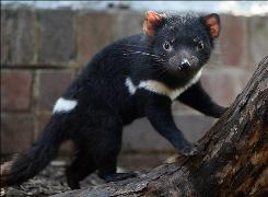 This file picture taken on January 13, 2009 shows a healthy Tasmanian devil joey (Sarcophilus harrisii) displayed as part of an intensive conservation program in Sydney.