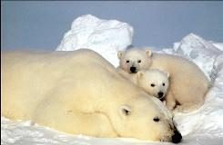 This undated photo released by the U.S. Fish and Wildlife Service shows a sow polar bear resting with her cubs on the pack ice in the Beaufort Sea in northern Alaska.