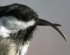 Scientists: Beak deformities increase in Northwest