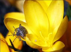 A stink bug crawls on newly- blossomed bright yellow crocuses Thursday, March 18, 2010, in Newtown, Pa.
