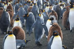 Penguins wearing metal flipper bands waddle near Antarctica. Flipper bands are used to identify the birds so that researchers, using binoculars, can track individuals and thereby follow the overall health of a colony.