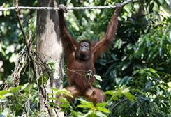 An orangutan makes its way across a rope at the Sepilok Orangutan Reserve near Sandakan, in East Malaysia. Malaysian researchers are testing whether three young orangutans reared in captivity can adapt to life in the wild outside Borneo.