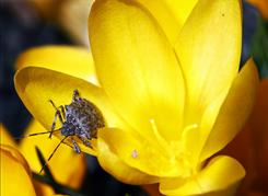 With spring only two days away, a stink bug crawls on newly- blossomed bright yellow crocuses Thursday, March 18, 2010, in Newtown, Pa.