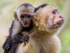 A white-faced capuchin mother and infant are seen in Costa Rica. It turns out the aging pattern for humans isn't too different from most other primates, such as chimpanzees, monkeys and baboons, new research shows.