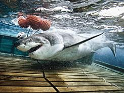 A great white shark dragging buoys after taking the bait.