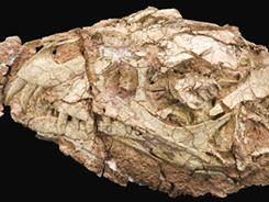 This image shows the skull of Daemonosaurus chauliodus, narrow and relatively deep, measuring 5.5 inches long from the tip of its snout to the back of the skull and has proportionately large eye sockets. The upper jaw has large, forward-slanted front teeth.