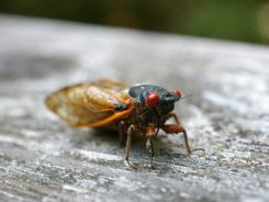 2011's cicadas will die in a month.
