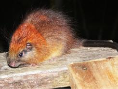 The red-crested tree rat.