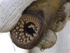 A sea lamprey has rows of teeth similar to a shark.