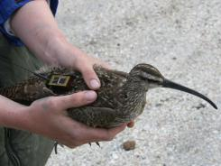 The whimbrel, nicknamed Chinquapin, flew through the dangerous northeast quadrant of the hurricane, which was then a Category 3.