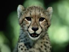 The world's population of big cats, like this juvenile African cheetah, has been devastated, conservation scientists say. They could face extinction within two decades.
