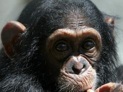 "Chimps typically voice quiet ""alert hoos"" when sighting predators."