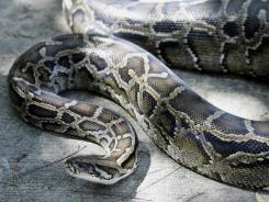 Burmese pythons, often discarded pets, have become an invasive species  in Florida,
