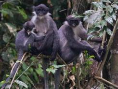 The endangered monkeys have been discovered on the island of Borneo in an area they were not previously known to inhabit.