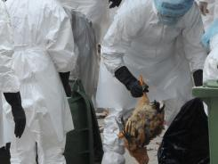Workers place dead chickens into plastic bags after they were killed in Hong Kong on Dec. 21. Hong Kong culled 17,000 chickens and suspended live poulty imports after three birds tested positive for bird flu.
