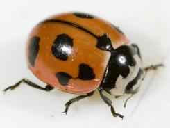 Cornell University is breeding nine-spotted ladybugs. The N.Y. insect had not been seen for 30 years in the state. There are four spots on each wing cover and the ninth is at the split at the front where the two meet.
