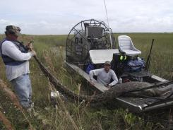 Workers hold a nearly 16-foot-long Burmese python captured and killed in Everglades National Park, Fla., in October. The python had consumed a 76-pound adult female deer.