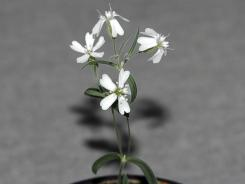 Russian scientists regenerated this Sylene stenophylla plant from tissue of fossil fruit.