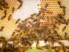 Colony collapse disorder is marked by bees emptying out of hives and not returning. Bee colony losses have alarmed U.S. farmers, who rely on about 2.68 million managed bee colonies to pollinate crops, a $15 billion industry, according to the U.S. Department of Agriculture.