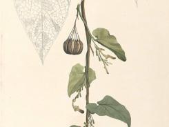 Aristolochia from the 1880's book, 'Flora de Filipinas' by Francisco Manuel Blanco.