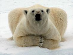 A polar bear is shown near Barrow, Alaska.