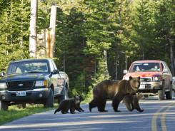 A grizzly bear crosses a road in Grand Teton National Park, Wyo., with her three cubs. People now can use their phones to find out where somebody has just seen a bison, wolf or grizzly bear in Yellowstone National Park.