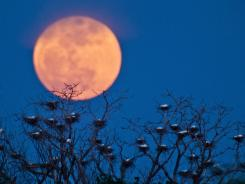 The moon rises Saturday above an egret nesting area on the west side of Wichita, Kan.