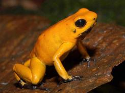Fundacion ProAves created a reserve to protect the habitat of the endangered golden poison dart frog.