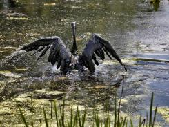 A Canada goose covered in oil attempts to fly out of the Kalamazoo River in Marshall, Mich., on July 27, 2010.