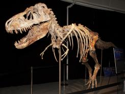 A nearly complete Tyrannosaurus bataar dinosaur skeleton looted from the Gobi Desert in Mongolia.