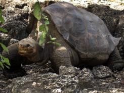 Lonesome George died at the age of approximately 100, making the Pinta Island Tortoise extinct.