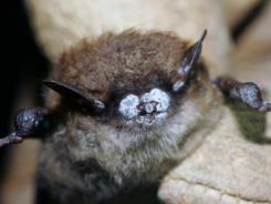 A dead bat shows the symptoms of white-nose syndrome.