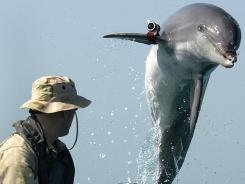 K-Dog, a Bottle Nose Dolphin, leaps out of the water in front of Sgt. Andrew Garrett while training near the USS Gunston Hall in the Arabian Gulf. Attached to the dolphins pectoral fin is a pinger device that allows the handler to keep track of the dolphin when out of sight.
