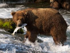 A brown bear catches a salmon at Brooks Falls, Katmai National Park in Alaska.