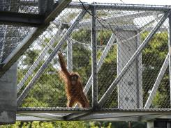 An ape's-eye view: The Great Ape Trail is the second piece of the Philadelphia Zoo's new trail network for animals, a groundbreaking effort to provide a better zoo experience for animals and humans alike.