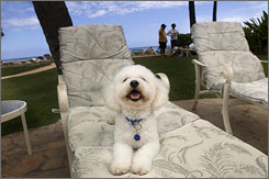 Kea, a 6-month old bichon frise, owned by Valerie and Larry Wilson relaxes on a lounge chair at The Kahala Hotel and Resort in Honolulu.