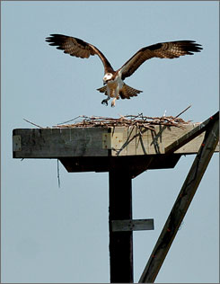 An osprey lands in a nesting area on the Blackwater National Wildlife Refuge, near Cambridge, Md.