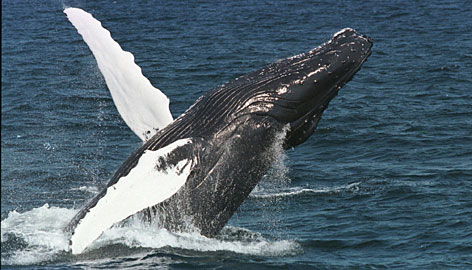 Off the Massachusetts coast: A humpback whale breaks the surface in the waters of Stellwagen Bank, a national marine sanctuary.