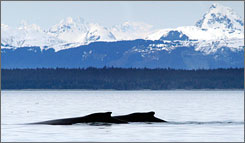 In Alaska: Humpback whales glide through breathtaking scenery and crystal-blue waters at the mouth of Glacier Bay.