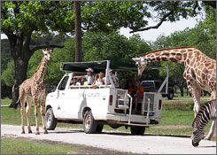 In Texas: Curious giraffes at Fossil Rim Wildlife Center take in the sights  and turn the tables on visitors.
