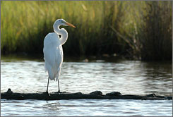 A Great White Egret sits on a log near Deal Island, Md. Maryland is considered a top bird watching spot, from the bald eagles at Blackwater to the peregrine falcons dotting the shores of the Chesapeake Bay.
