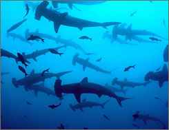 The pristine waters of the Galapagos Islands are stocked with all kinds of sharks, especially around Darwin Island.