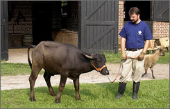 "Shon Rainford, the vice president of operations at Middleton Place, stands with a young water buffalo named ""Adem"" at Middleton Plantation near Charleston, S.C."
