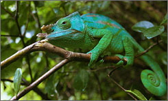 In Madagascar: A chameleon sits on a branch of a tree in Mantadia National Park.