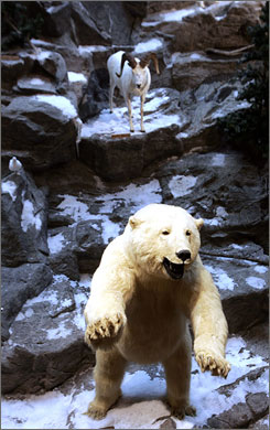 A stuffed Polar bear stands on an artificial mountain in the middle of the floor of the new Cabela's store in East Hartford, Conn. The wildlife exhibits that are part of the decor lend to store's popular atmosphere.