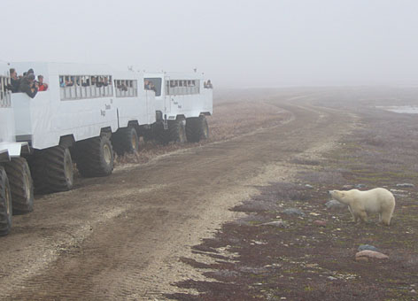 Polar bear express: One of the few places people can see polar bears in their natural environment in Churchill, Manitoba, where sightings spark traffic jams. As temperatures cool, the polar bears again make their way to Hudson Bay, where they spend the winter and spring feeding primarily on ringed seals. But the bay is freezing later, scientists say.
