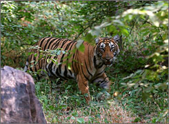 Fearful symmetry: Indian conservationists fight to save the once-ubiquitous Royal Bengal tiger, whose numbers have dwindled because of poachers and habitat loss.