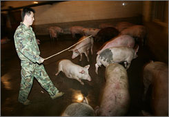 A worker herds pigs in China. Residents say they have noticed a marked increase in pig activity.